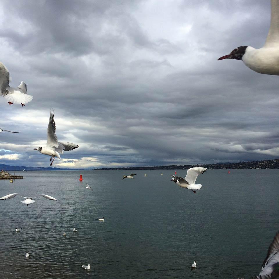 mouettes à Genève au mois de février